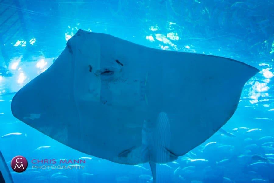 Dubai Aquarium giant stingray