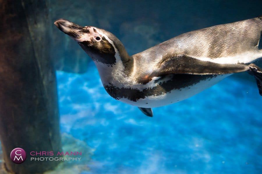 Dubai Aquarium - swimming penguin